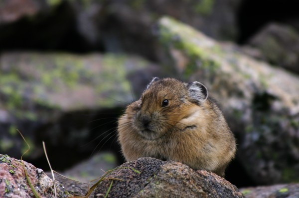 American pika in Colorado